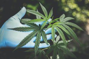 GeoShepard Cannabis x1200